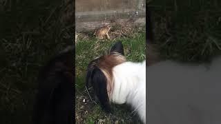 Лягушка как кошка