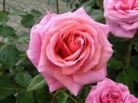 RAMBLING ROSE NAT KING COLE