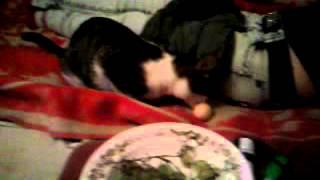 кот лижет яйцо