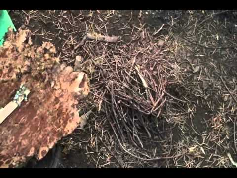 how to get tree sap