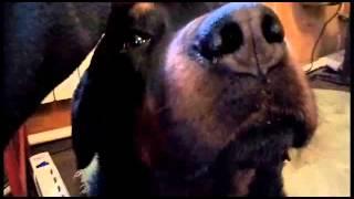 Советы ленивым собаководам. Агрессия собак 1