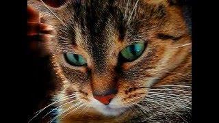 Кошачье лечебное мурлыканье,  муррррррчащий КОТИК, целебная магия кошачьего мурлыканья, cat purring