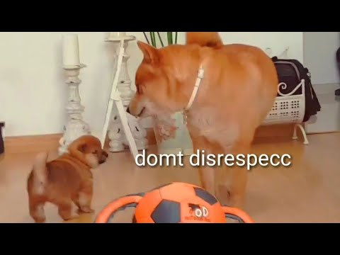 AMGERY daddo - the return Ep04 / Shiba Inu puppies (with captions)