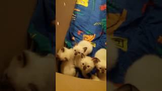 Тайские котята (29.05.2017) купить тайского котенка.