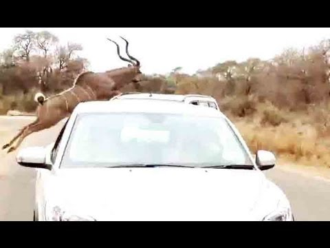 Thumbnail: Kudu Jumps Over A Car To Escape From A Lion - 16 September 2013 - Latest Sightings
