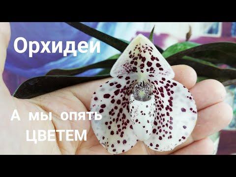 Орхидеи. ПАФИОПЕДИЛУМ BELLATULUM  меня полюбил.
