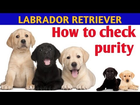 HOW TO CHECK PURE LABRADOR RETRIEVER PUPPY IN HINDI/PURITY CHECK LABRADOR BREED /KOLKATA PET CARE
