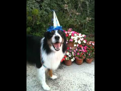 Australian Shepherd Sings YouTube