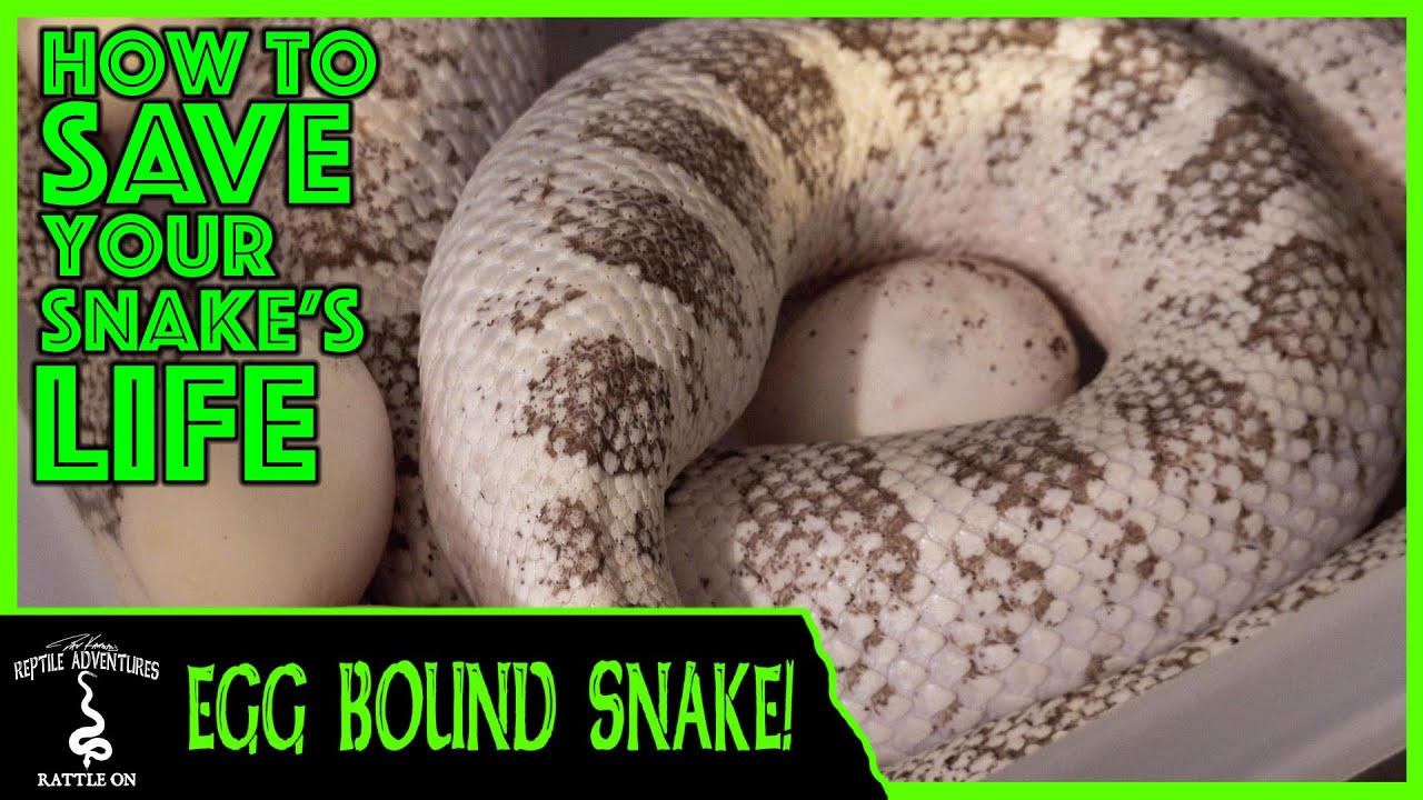 Egg Bound Snake How To Save Your Snake S Life Youtube