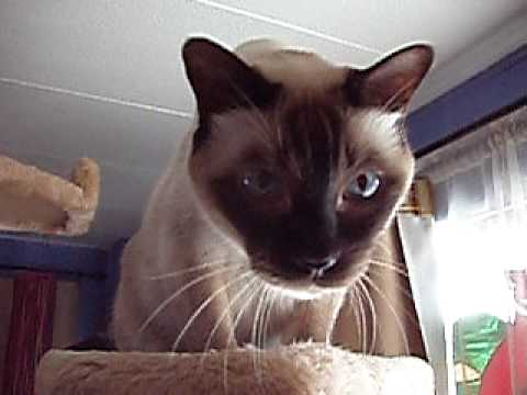 My Talking Tonkinese on Earthquakes!