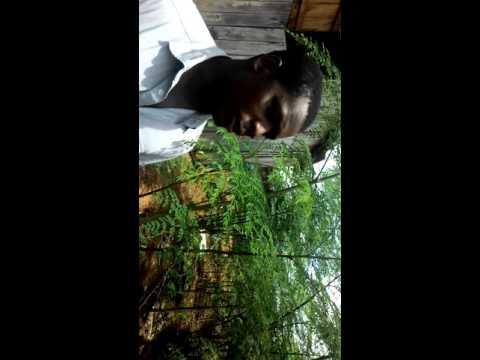Culture du moringa au Gabon