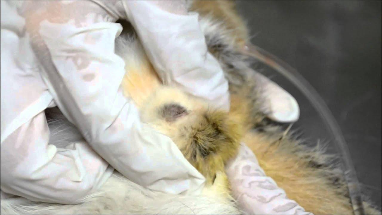 Exploración del aparato urogenital en perros y gatos - YouTube