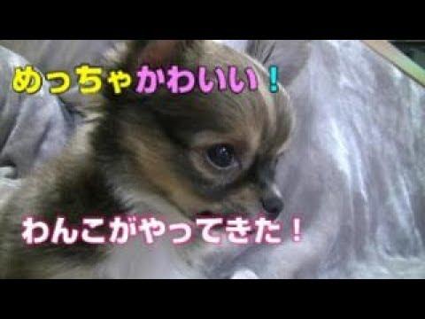 【チワワ】めっちゃかわいい! チワワの仔犬が家にやってきた!