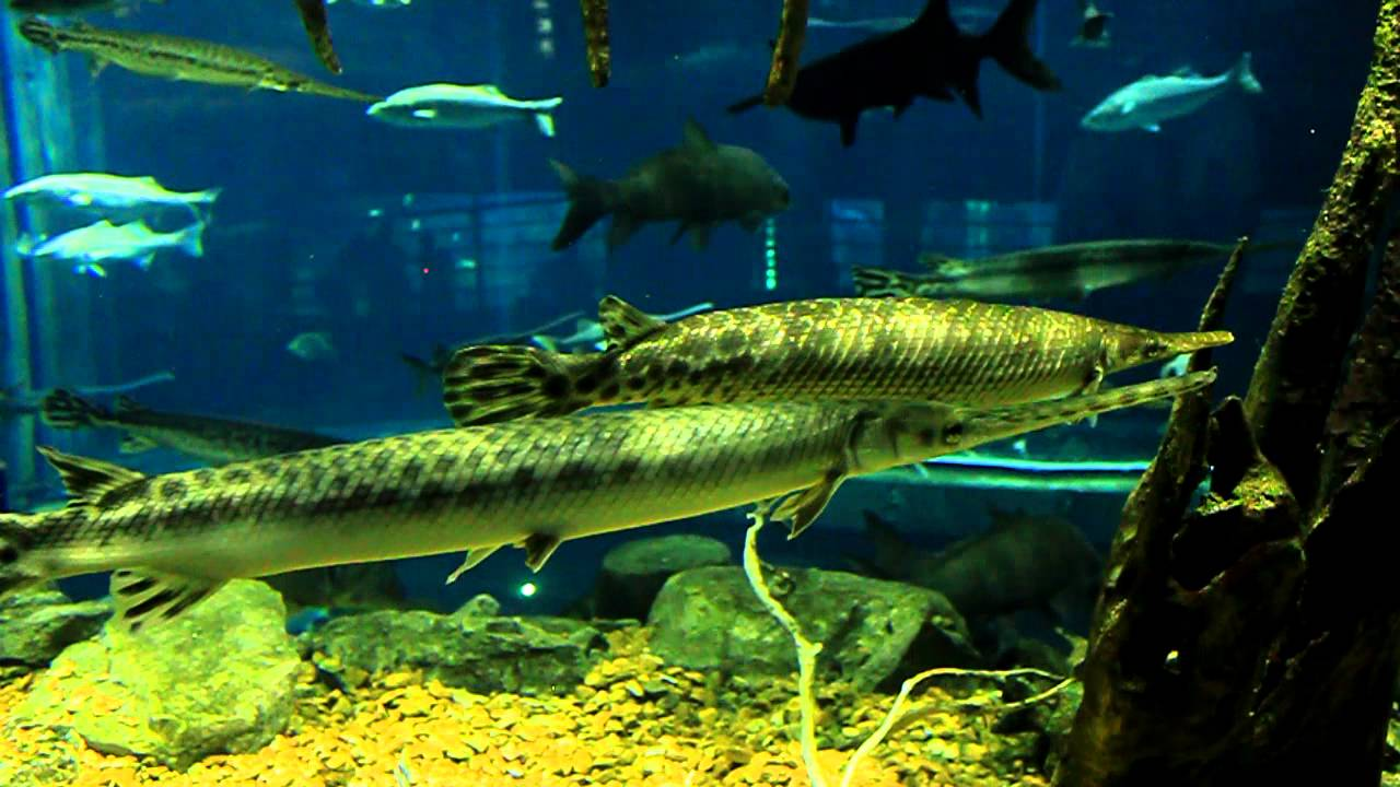 Needle Nose Gar at the Tennessee Aquarium in Chattanooga, River Giants ...