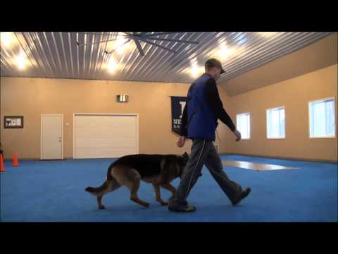 Nico (German Shepherd) Advanced Obedience Training