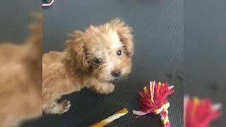 toypoodle #puppytrain #train #cute #puppy #Wendy #dog #fun #puppyvi...