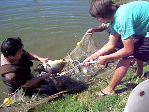 Cria de peces youtube for Criadero de peces en casa