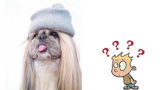Пекинес полное описание о породе собаки | Пекинес все о породе