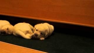 Щенки лабрадора - 1 месяц