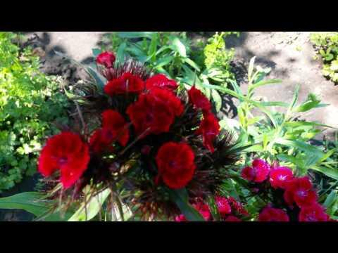 Гвоздики садовые