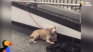 Pit Bull Dog Mom Abandoned At NYC Train Station | The Dodo