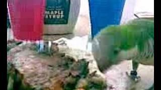 Quaker Parrot Loves Skim Milk Whipped Cream