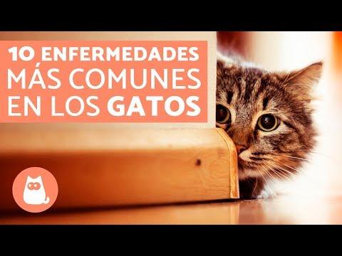 enfermedades comunes en gatos y síntomas