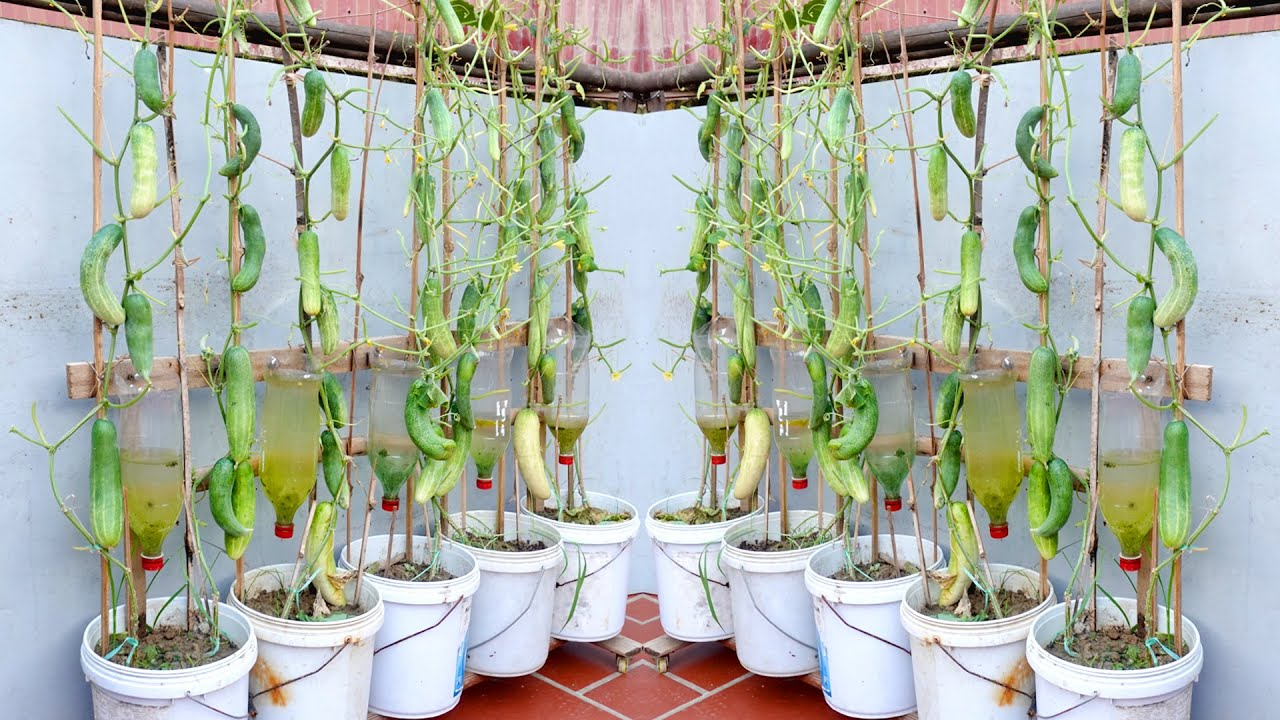 Amazing Idea   Growing Cucumbers at Home Produces Many Fruits   Automatic Watering