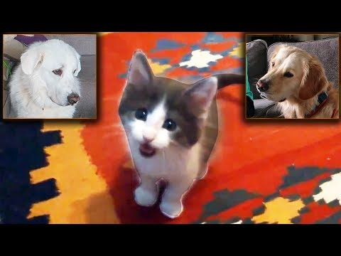 DOGS REACT TO CAT VIDEOS (Super Cooper Sunday #109)