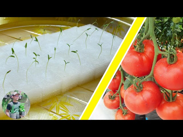 How to grow Tomato in Hydroponic System easy step by step | Home gardening ideas