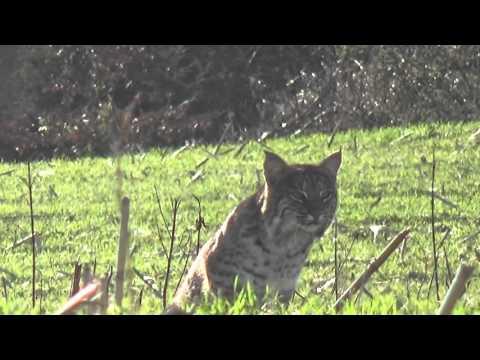 Monster bobcat stalks call/decoy
