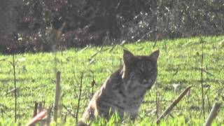 Monster bobcat stalks call/decoy