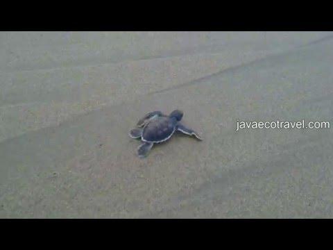 Sukamade Green Turtle (Chelonia Mydas)