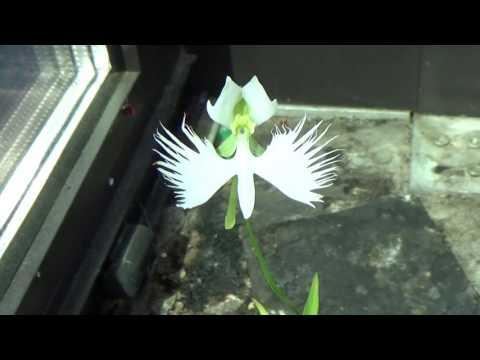 Orchid close-up. Habenaria radiata