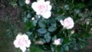Chandos Beauty - hybrid tea rose