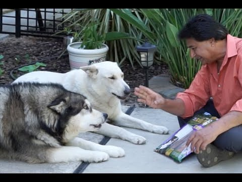 Sheru & Bruno Tries Bull Sticks   White German Shepherd and Alaskan Malamute tries Bully Sticks