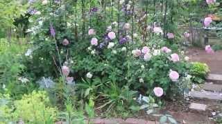早朝の庭仕事は小鳥や野鳥のさえずりのなかで仕事がはかどる。 バラの一...