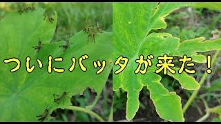 突然バッタが大発生して植えたばかりの野菜を食べてしまう【サバクトビバッタ?】