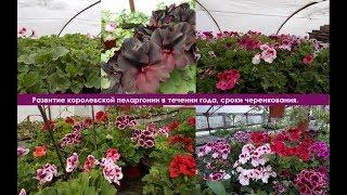 Королевская пеларгония, царская герань - развитие в течении года, сроки черенкования.