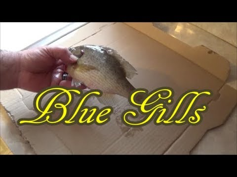 How To Fillet A Pan Fish (Blue Gill)