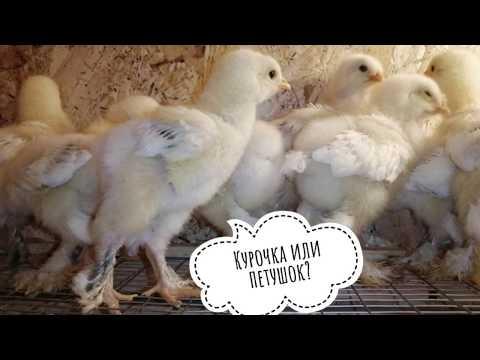 Как определить пол цыпленка?