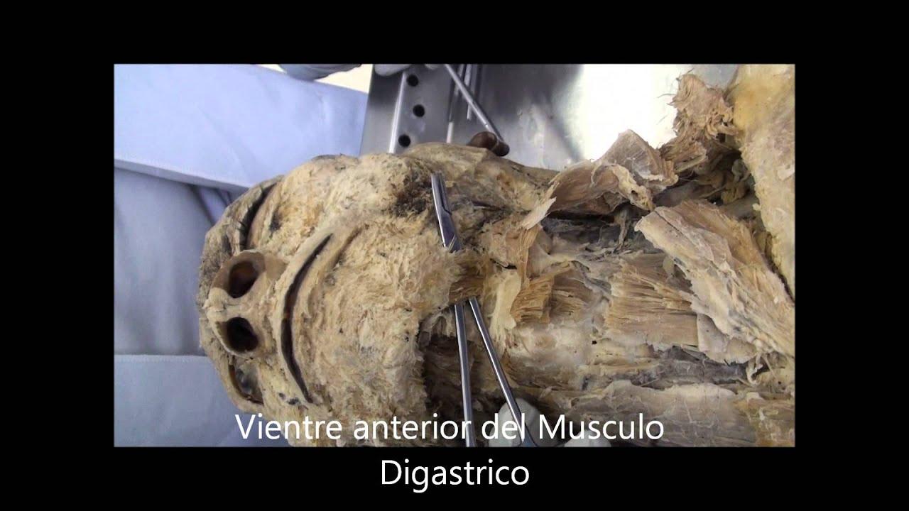 Anatomia Cabeza y Cuello, Musculos-Vasos y Ojo - YouTube