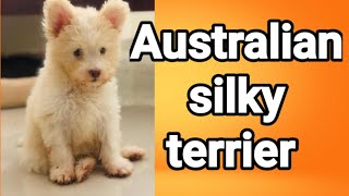 Australian silky terrier||beautiful dogs||2020 |cute dogs and baby's ||