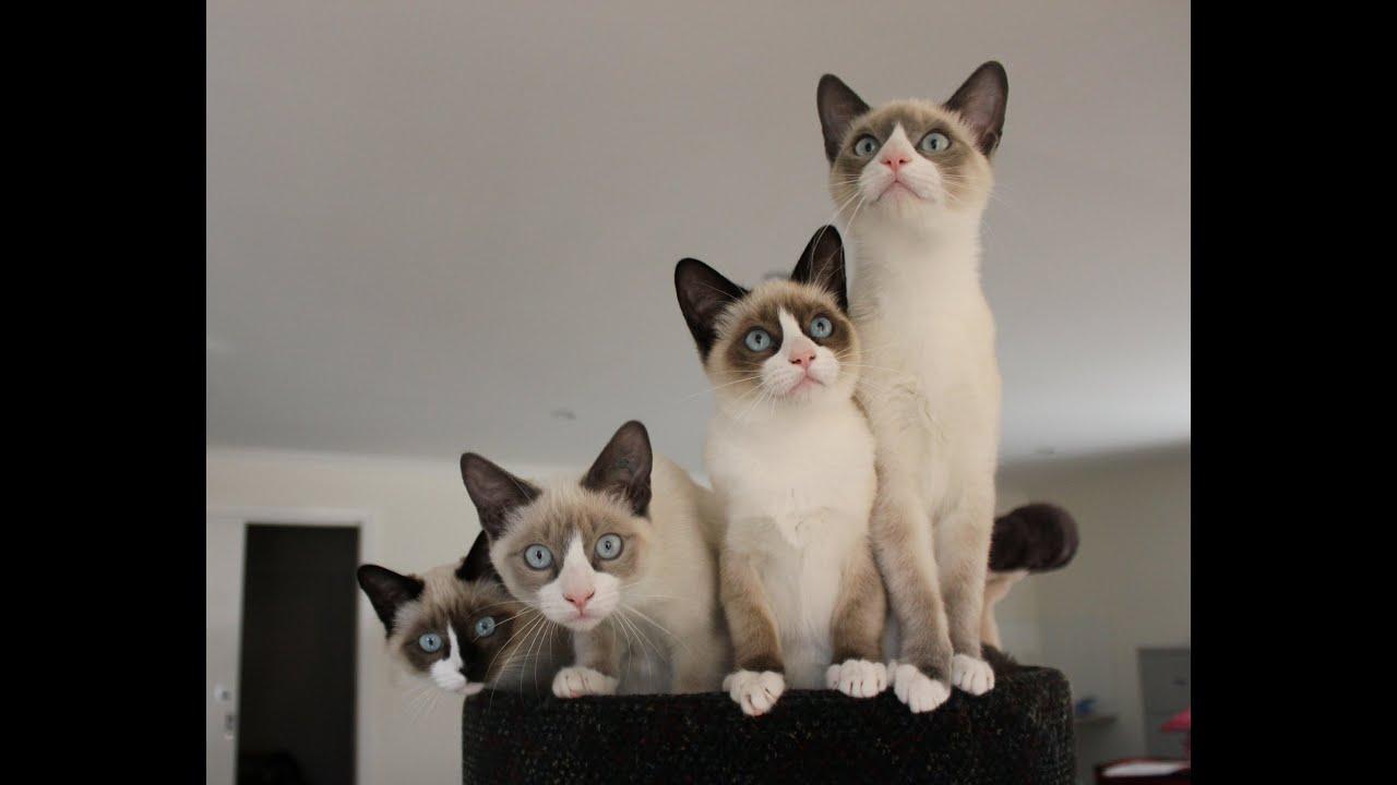 extra cute snowshoe kitten calendar 2015   youtube