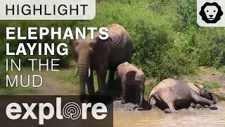 Baby Elephants Lay in the Mud - Live Camera Highlight thumbnail