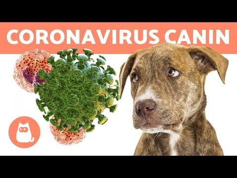 Maladies Dangereuses Pour CHIENS 🐶 Le CORONAVIRUS Du CHIEN