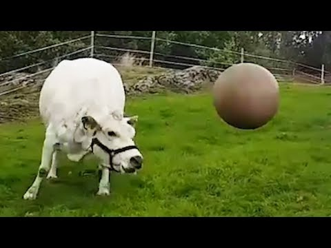 cow plays with pilates