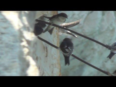 El avión común Delichon urbicum es una especie de ave migratoria de la familia de las golondrinas