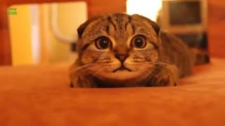 Подборка милых вислоухих котиков. ПРИКОЛЫ С КОТАМИ(CatsLIVE)