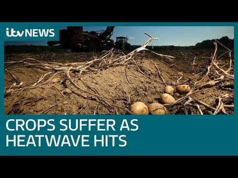 Crops suffer as UK's heatwave hits new highs | ITV News